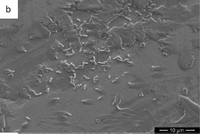 Listeria growing on Stainless Steel (image by C.Assisi)