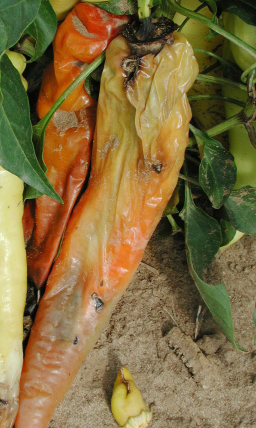 http://www.omafra.gov.on.ca/IPM/english/peppers/diseases-and-disorders/bacterial-soft-rot.html