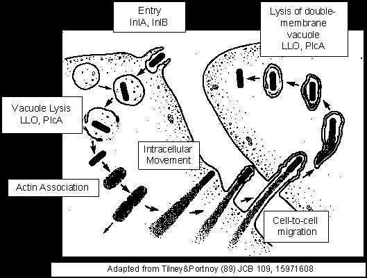 Listeria monocytogenes life cycle