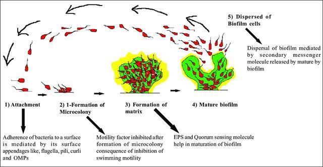 Steps-of-biofilm-formation_W640
